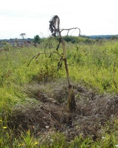 Hogweed Dying