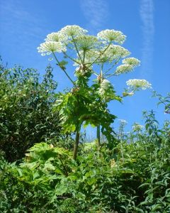 Giant Hogweed Fuul Crown